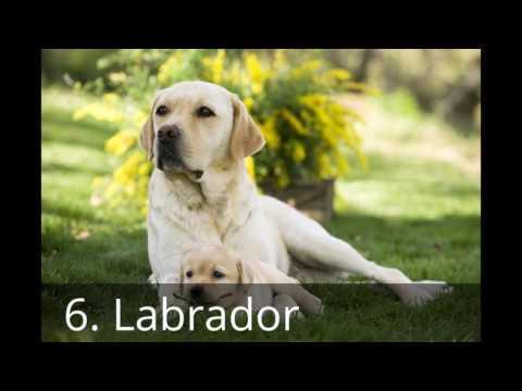 Top 10 honden rassen