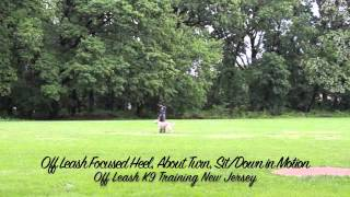 Labrador Before And After Off Leash K9 Training Nj