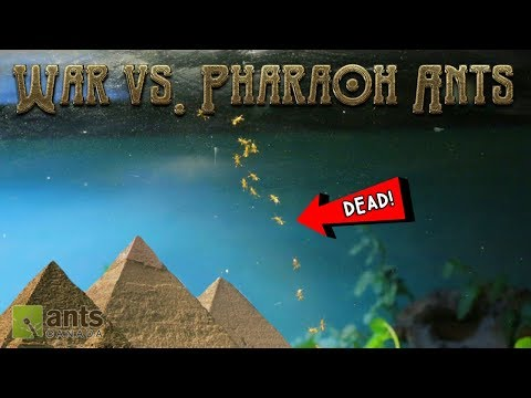 WAR vs. PHARAOH ANTS