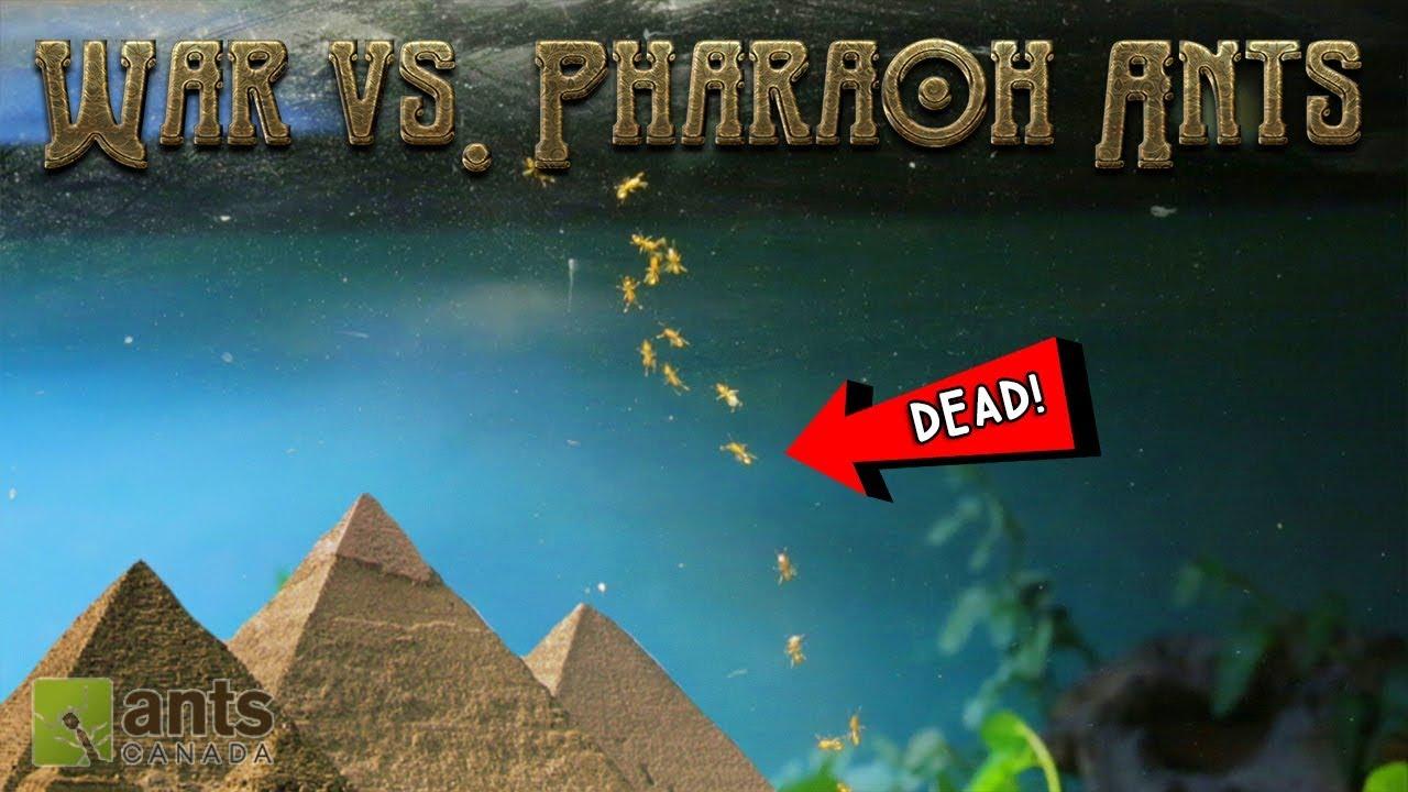 war-vs-pharaoh-ants