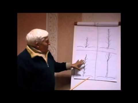 КАТАЛЬПА (CATALPA) сем. Бигнониевые - YouTube