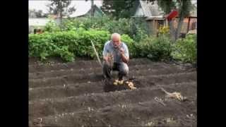 Как правильно убирать картофель