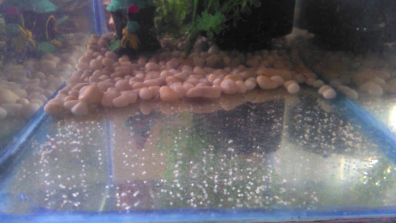 Goldfish eggs hatching day 1 youtube for Fish eggs hatching