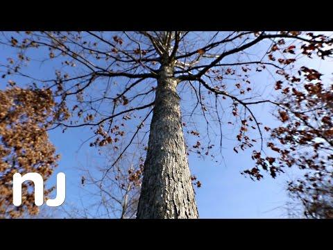 Offspring of 600-year-old N.J. oak tree planted at Basking Ridge church