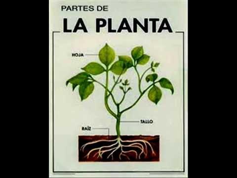 las plantas y sus partes Funciones primaria eso  YouTube