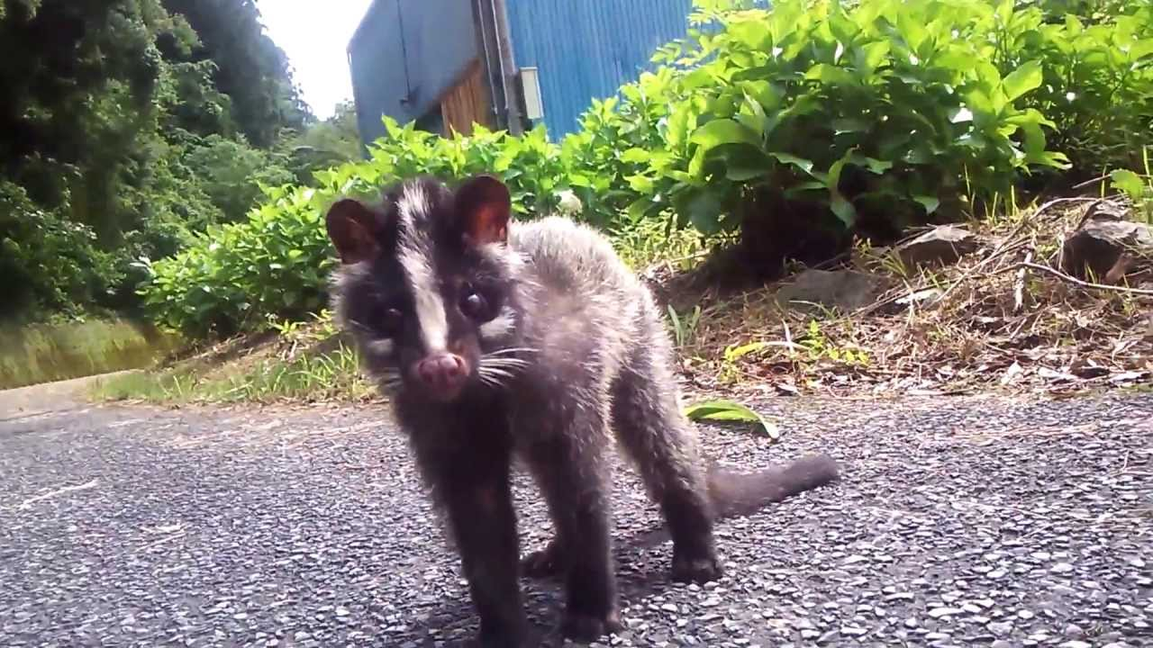 ������������� baby masked palm civet youtube