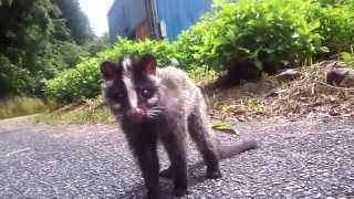 激萌えなハクビシンの子供 Baby Masked palm civet