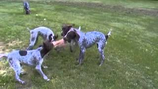 German Shorthaired Pointer - Calvin, 6 Months Old Plays With His Family. (video By Breeder)