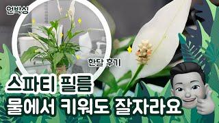 [식물 키우기] 스파티필름 수경재배(물에서 키우기) 언…