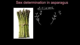 Asparagus breeding  - problem solving