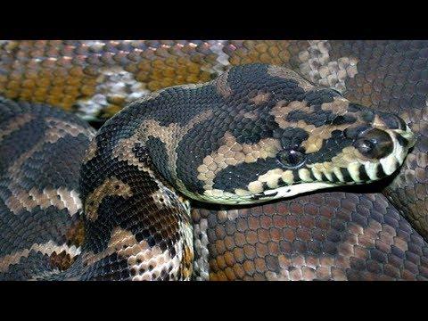 Irian Jaya Carpet Python Update!!!