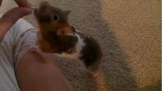 How To Train Your Pet Hamster Tricks