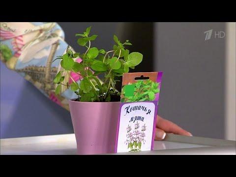 Жить здорово! Растения на грядке против комаров. Советы телезрителей. (30.05.2016)