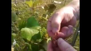 How To Build A Grape Arbor And Grape Growing