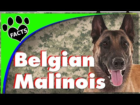 Dogs 101: Belgian Malinois (Shepherd) - Animal Facts