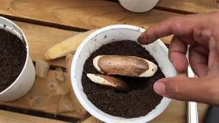 Growing mango from seed-in pots-Trying out Bonsai