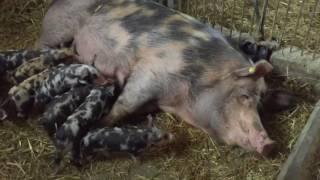 Polska rasa zachowawcza trzody chlewnej świnie puławskie