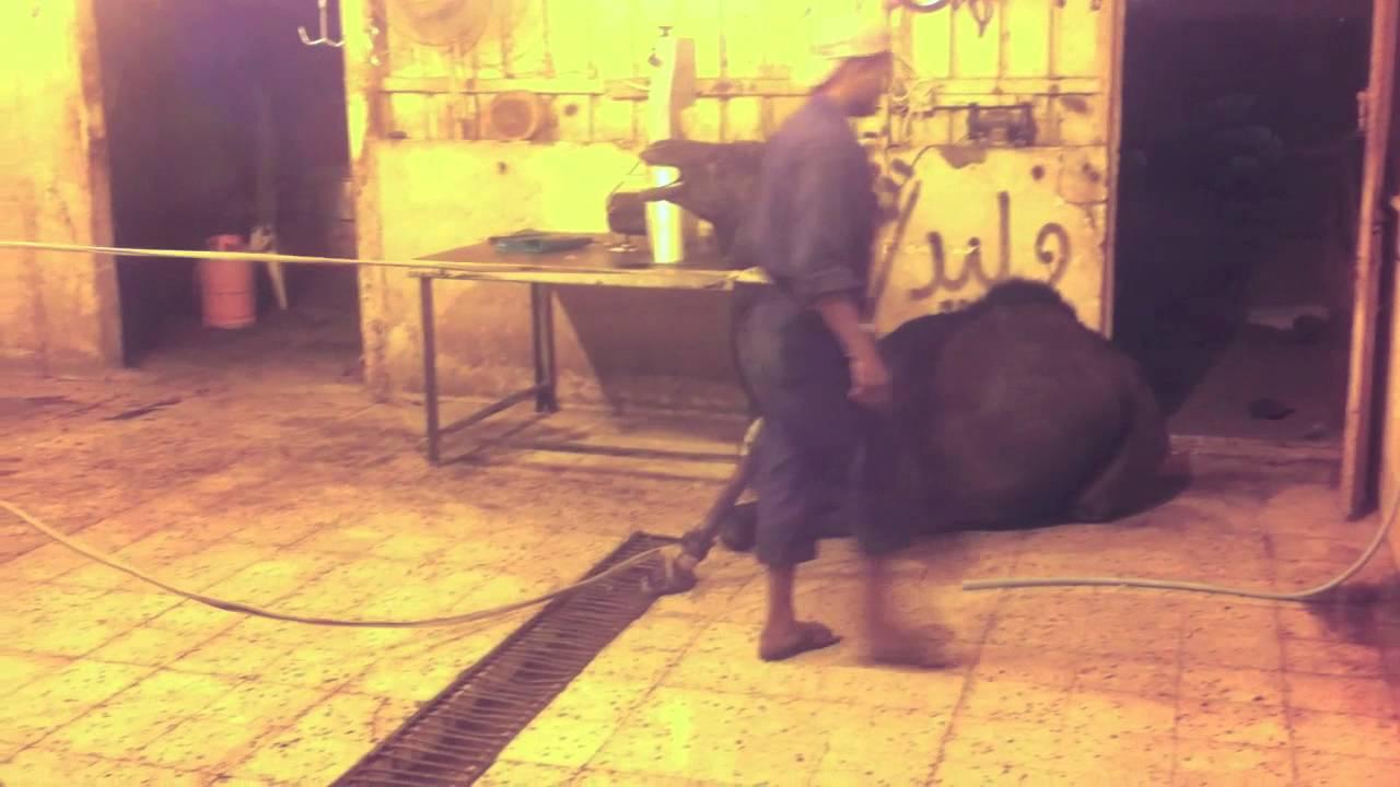 Download Camel slaughtering in Saudi Arabia