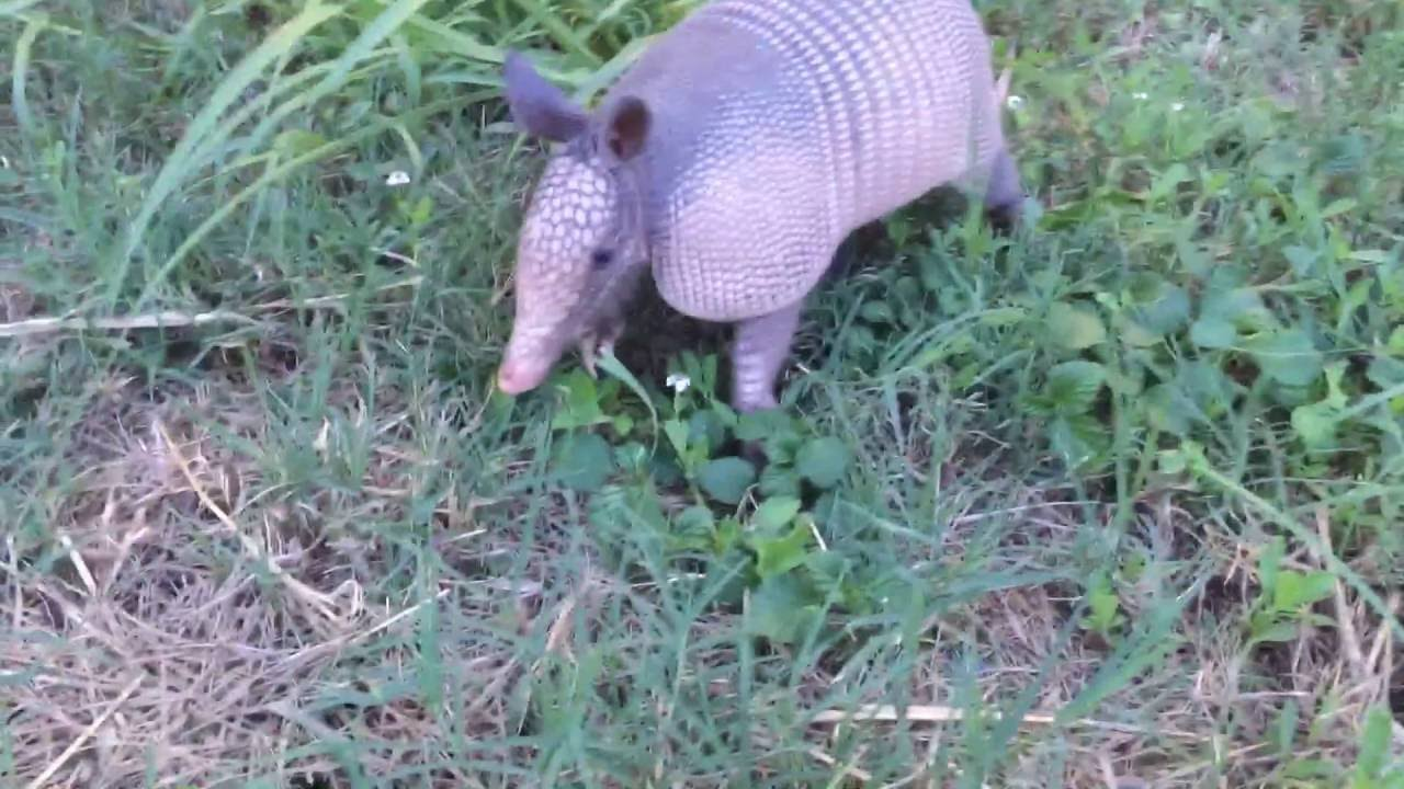 How to Get Rid of Armadillos forecasting