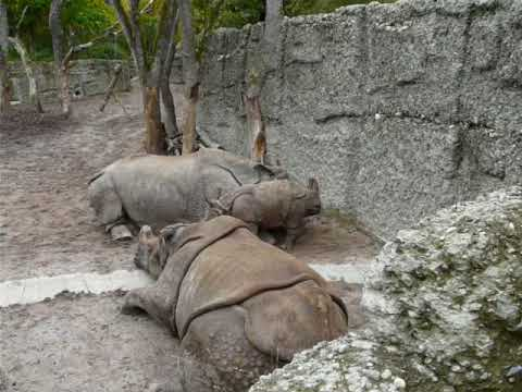 A family of Indian rhinoceros including a baby