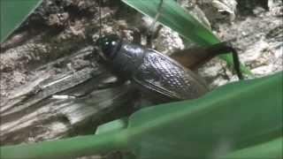 水前寺江津湖公園・コオロギの鳴き声(Cricket)