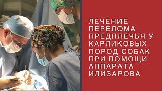 Лечение перелома предплечья у карликовых пород собак при помощи аппарата Г.А. Илизарова