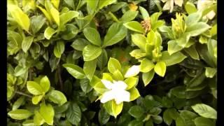 jasmim flor