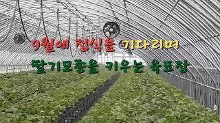 전라북도 김제딸기스마트팜 딸기코빨강코 딸기육묘 육묘장하…