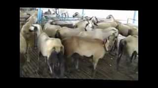 Stall-Fed Goat & Sheep farm in A.P