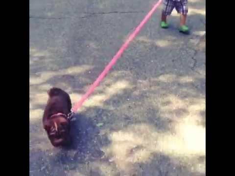 baby-walks-shar-pei-puppy-(so-cute!!!)