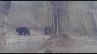 tiger with 3 sloth bear in bandhavgarh zone 5