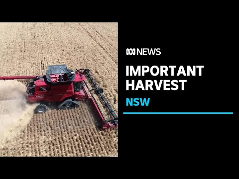 NSW farmers begin their first harvest since the drought ended  | ABC News
