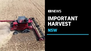 NSW farmers begin their first harvest since the drought ended    ABC News