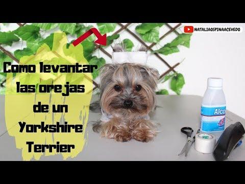 Como Levantar Las Orejas De Un Yorkshire Terrier Cintas En Las Orejas Youtube