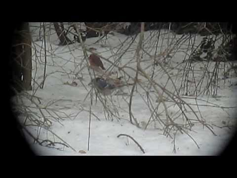 Varied Thrush video