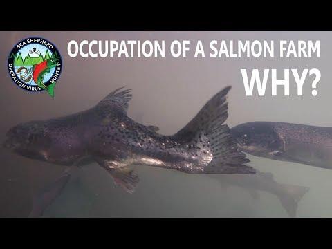 Occupation of a Salmon Farm: Why?