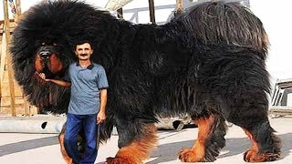10 Most expensive Dog Breeds only Rich People can Afford