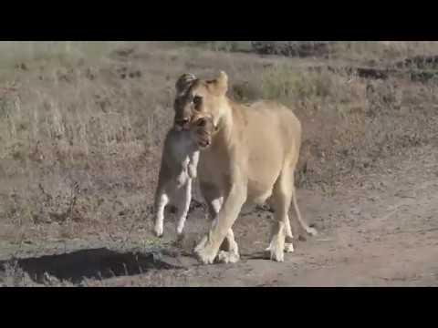The Serengeti Tales V : A Serengeti Lioness Part II