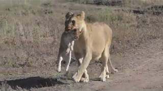The Serengeti Tales V : A Serengeti Lioness Part II