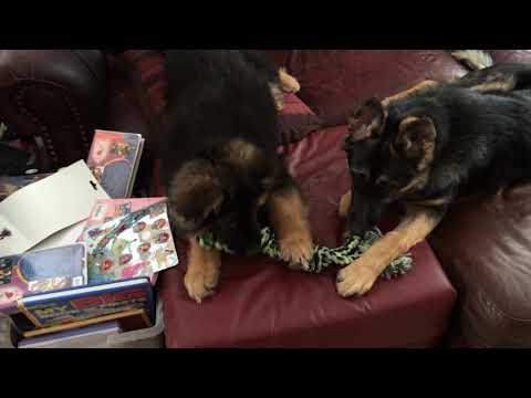 King Shepherd puppy introduced to older German Shepherd