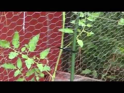 Cooperative Gardening (Tomatoes, Peppers and Strawberry)