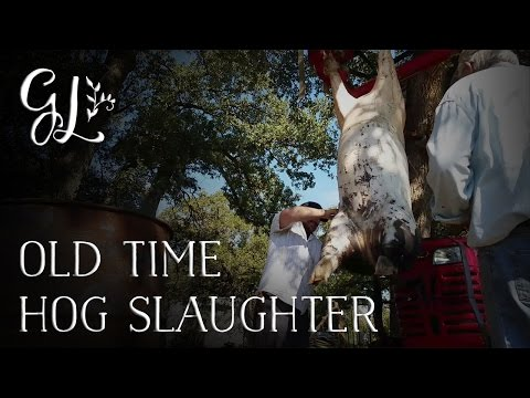 Slaughter and butcher a pig. Part 2 (GRAPHIC! ANIMAL DIES IN VIDEO!)