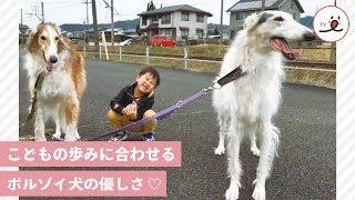 大型のボルゾイ犬、ブッチ君とバジル君。 元々走るのは早いけど、子供の...