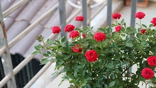 How to grow roṡes for beginners | Garden ideas