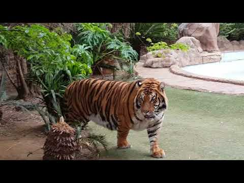 How to tell the tigers apart !