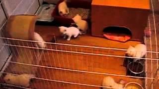 Кошки. Красивые британские котята 1,5 месяца.