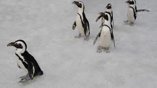 Gambar cover La troupe della BBC infrange le regole e salva i pinguini