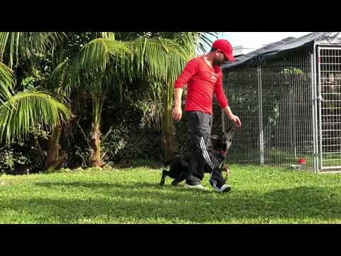 Basic Obedience Training by South Florida German Shepherds - only 7 days of training