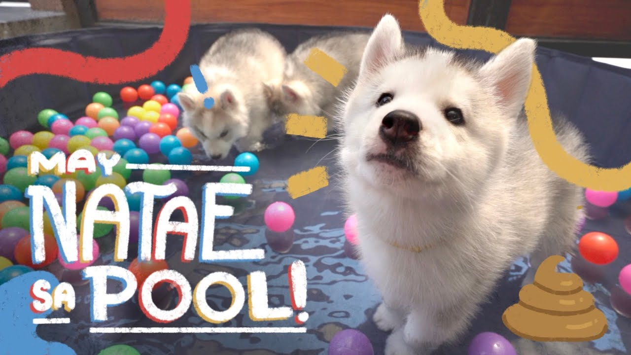 FIRST POOL PARTY OF 3 HUSKY PUPPIES! + 1ST VACCINE