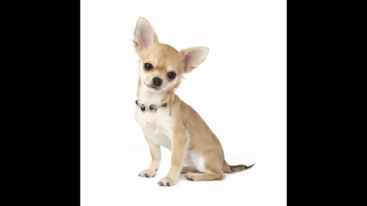 les plus petit chien du monde youtube. Black Bedroom Furniture Sets. Home Design Ideas